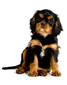 Healthy Pets loves this pic of a King Charles Cavalier Spaniel puppy