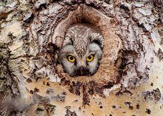 Perleugle i hull – Veggbilde & art print plakat – Veggbilder. Owl, Bird, Art Prints, Animals, Art Impressions, Animales, Animaux, Owls, Birds
