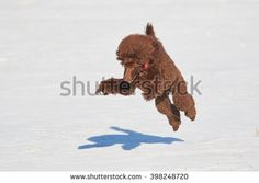 Stock Photo: Standard poodle standing with a toy in the snow in winter.