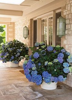 Paul Bangay on the best plants for year-long flowers and how to have a garden in. Paul Bangay on the best plants for year-long flowers and how to have a garden in a small space - Vogue Living Container Plants, Container Gardening, Container Flowers, Long Flowers, White Flowers, Purple Flowers, Front Yard Landscaping, Landscaping Ideas, Hydrangea Landscaping