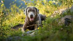 Silver Labs - The truth about silver Labradors. An in-depth and balanced guide to the controversial silver Labrador Retriever, origins, pedigree, health
