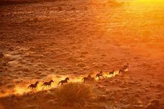 A mob of Persian and Arabian brumbies runs free in the Gibson Desert.