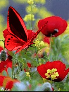Маки Butterfly Gif, Butterfly Pictures, Butterfly Wallpaper, Rose Wallpaper, Beautiful Bugs, Beautiful Butterflies, Amazing Nature, Beautiful Flowers, Beautiful Pictures
