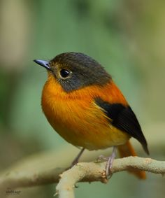 Black& Orange flycatcher- female