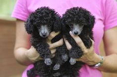 Harper and Scout at nine weeks-- silver toy poodles!