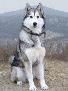 Wonderful All About The Siberian Husky Ideas. Prodigious All About The Siberian Husky Ideas. Dogs Funny Husky, Cute Husky, Husky Puppy, Haski Dog, Siberian Husky Dog, Alaskan Husky, Alaskan Malamute, Beautiful Dogs, Dog Pictures