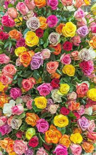 flowers, rose, and wallpaper Bild Beautiful Flowers Wallpapers, Beautiful Rose Flowers, Exotic Flowers, Pretty Flowers, Colorful Flowers, Multi Colored Flowers, Flower Phone Wallpaper, Flower Wallpaper, Nature Wallpaper