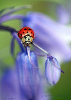 Coccinelle, lady bug, majestueuse, ça fait du bien pour le coeur, toute en douceur!