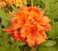 Achat Azalée - Azalea japonica - 'Orange Beauty' Jeune Plante en godet - Vente en-ligne