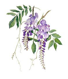 Wisteria watercolour painting on Arches 140 lb Cold Pressed. Watercolor Cards, Watercolor Flowers, Watercolor Paintings, Watercolors, Botanical Flowers, Botanical Prints, Art Mur, Wall Art, Botanical Drawings