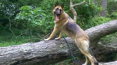 Doggy duty! German shepherd gets jury summons