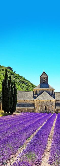 Abbey of Senanque and blooming rows lavender flowers, Provence, France