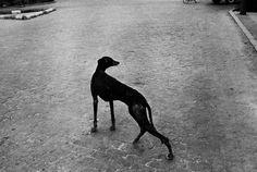Josef Koudelka (1973. Sevilla) Galgo