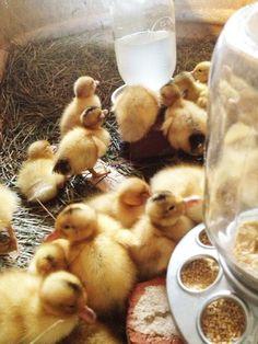 Silver Appleyard & Saxony ducklings via Big Picture Farm.