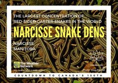 Every spring, tens of thousands of 🐍 slither out of their winter dens to begin their annual mating ritual. Great 🇨🇦 fact 113/150 #Canada150 #WildlifeWednesday