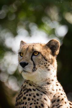 cheetah portrait (by Cloudtail)