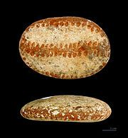 These painted pebbles are a Pictish artifact unique to northern Scotland in the first millennium AD