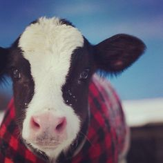 Calf+plaid= adorable. This little one is from Andersonville Dairy in West Glover VT #cabotfarmers #farmlove #farmfamilies #ilovecows #ilovermont