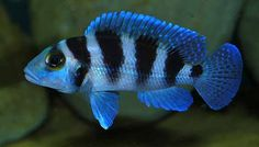 Neolamprologus Tretocephalus (my favorite cichlid) – Fish according to steve (facts) Tropical Fish Aquarium, Freshwater Aquarium Fish, Victoria Lake, Pet Fish, Fish Fish, Cichlid Fish, Lake Tanganyika, Aqua Culture, African Cichlids