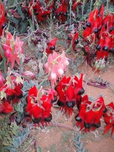 Sturt Desert Pea, South Australia's emblem, courtesy of South Aussie with Cosi Australian Wildflowers, Adelaide South Australia, Trees And Shrubs, Wild Flowers, Beautiful Flowers, Flora, Southern, Around The Worlds, Dessert
