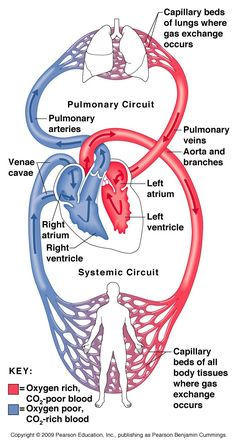 A&P 2 Chapter The Circulatory System: Heart and Blood Vessels Flashcards Circulation Pulmonaire, The Human Body, Arte Com Grey's Anatomy, Heart Anatomy, Nursing School Notes, Medical School, Cardiac Nursing, Medical Anatomy, Cardiac Anatomy