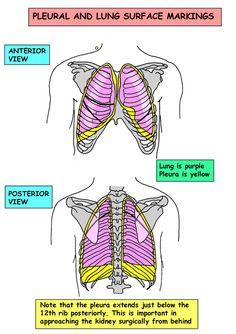Instant Anatomy - Thorax - Areas/Organs - Respiratory system - Pleura