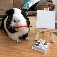 Lilo The Guinea Pig - (boredpanda) Pet Guinea Pigs, Guinea Pig Care, Baby Pigs, Baby Bunnies, Guinnie Pig, Guinea Pig Costumes, Funny Animals, Cute Animals, Rabbit Cages