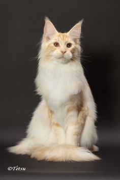 Maine Coon Cats - WhatATrill Maine Coons of Northern California - WhatATrill Maine Coon Male Cats