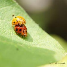 Ladybug Mating by https://www.deviantart.com/dianapple on @DeviantArt