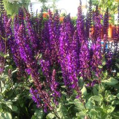 Les sauges Salvia 'Caradonna' - Je Jardine Salvia, World, Pastels, Discovery, Summer, Apps, Gardens, Ears Of Corn, Plant