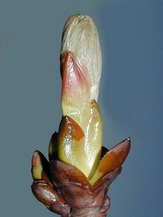 CHESTNUT BUD [Bach Flower Remedy] :: homeopathyandmore.com Chestnut Bud, Elixir Floral, Bach Flowers, Homeopathic Remedies, Private Garden, Homeopathy, Flower Cards, Healing, Herbs