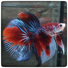Halfmoon Betta Auctions - Mon May 18 2020 Koi Betta, Halfmoon Betta, Fish Room, Siamese Fighting Fish, Aquarium Fish, Oriental, Auction, Animals, Velvet
