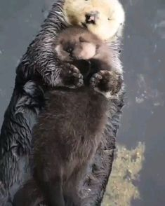 Momma sea otter making sure her pup is comfy 🔥 - Awesome animals - Nice cat Cute Little Animals, Cute Funny Animals, Cute Cats, Otters Funny, Otters Cute, Cute Animal Videos, Tier Fotos, Cute Creatures, Animal Memes