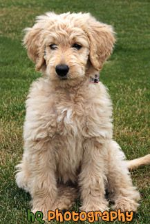 Looks just like my goldendoodle!  Goldendoodle Puppy Dog Sitting Photo