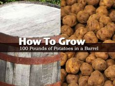 How To Grow a 100 Pounds of Potatoes in a Barrel