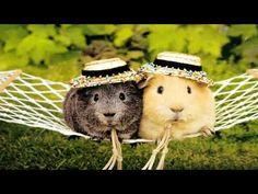 Hamsters or guinea pigs? Cute anyway. Like Animals, Baby Animals, Funny Animals, Funny Pets, Draw Animals, Pigs Eating, Guniea Pig, Guinea Pig Bedding, Cute Guinea Pigs