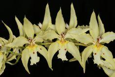 Odontoglossum crispum flavum - Flickr - Photo Sharing!