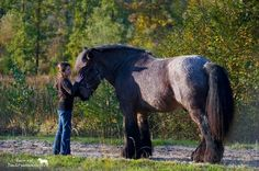 Brabant horse