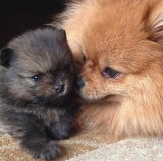More On Pomeranian Puppy Food Mutt Puppies, Cute Dogs And Puppies, Baby Puppies, Baby Dogs, Labradoodle Puppies, Cute Baby Animals, Animals And Pets, Funny Animals, Cute Pomeranian