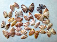 striped-Sanibel-Florida-Coquina-shells.jpg 640×480 pixels