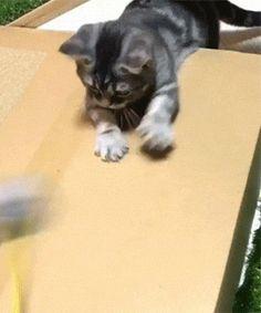 catgifcentral: Kitten - HighlandValley