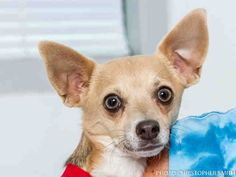A1703633 Batman is a 1-yr-old male, tan/ white smooth-haired Chihuahua mix. A1703634 Robin is a 1-yr-old male, tan/ white smooth-haired Chihuahua mix. The Dynamic Duo have a wonderful bonding partnership. They do anything & everything together that includes showing how loving, cuddly & fun they are. These super heroes need to be adopted into the same home, therefore you will only pay one adoption fee when you adopt them both. Meet these great boys at the Eastside shelter. www.cabq.gov/pets