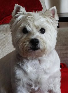 Alice, the Westie ... OK, I'm ready for my close - up.   by bazzadarambler