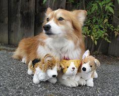 A Corgi and his plush counterparts.