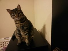 Bell the gray tabby cat