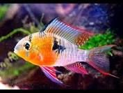 Image result for bolivian ram