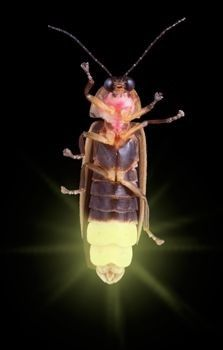 Lightning bugs or fireflies are not flies and neither are they bugs, but they are beetles that can produce lights. Lightning bugs can light up during all stages of their lives, including larvae and pupae. In some species of lightning bugs, the eggs glow as well!