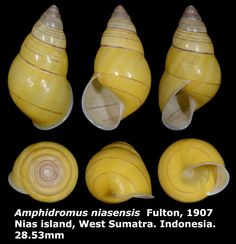 Dr. Lee's Gallery Museum: Amphidromus niasensis 28.53mm