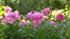 Pioni on puutarhan hurmuri. Lue Kotiliesi.fi:stä, miten pionin istutus, lannoitus ja hoito tehdään ja pääset nauttimaan kauniista kukkaloistosta! Garden, Pretty, Plants, Garten, Flora, Plant, Lawn And Garden, Outdoor, Tuin