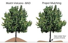 PSA: mulch your trees in a ring, not a volcano! Do not let the mulch pile touch the trunk of the tree, or you risk your tree's health. Tree Mulch, Mulch Around Trees, Landscaping Around Trees, Mulch Landscaping, Trees And Shrubs, Trees To Plant, Landscaping Ideas, Inexpensive Landscaping, Tree Planting